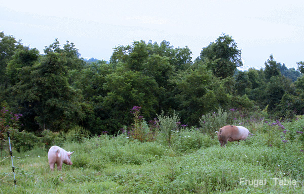 Pasture_pigs