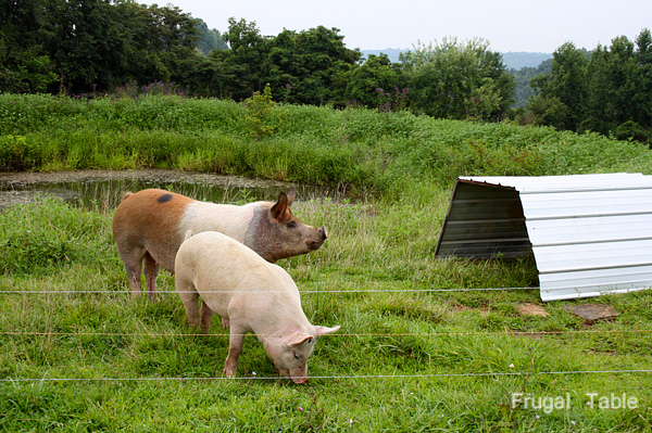 Pigs_blog