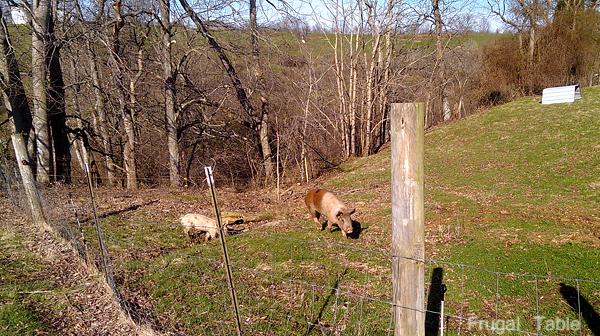pig_pasture